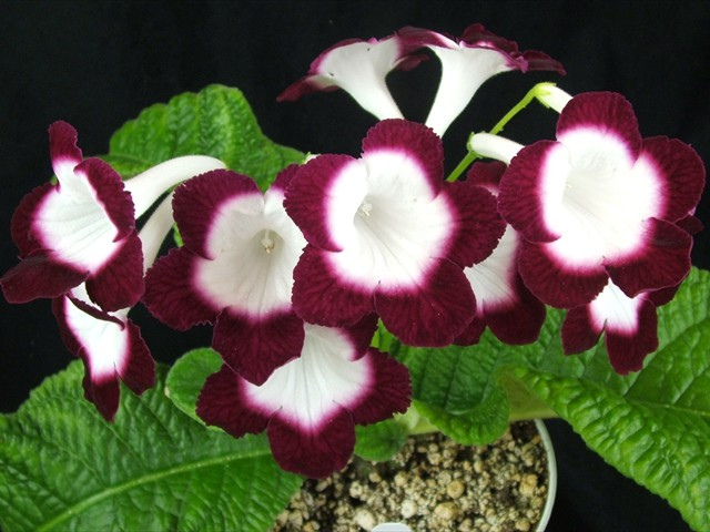 Others can be very bright with contrasting edges or outer petals of a darker color.