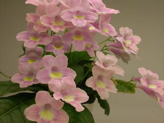 Streptocarpus (aka 'Cape Primrose') are easy and constant bloomers.  This one's fragrant too!