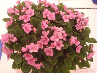 Trailing African violets.  Loads of blooms on violets with spreading, branching (even hanging) habit!