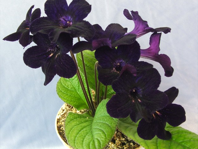 Bloom colors on streptocarpus range from the very light and bright, to a velvety, nearly-black.