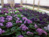African Violets in small barn