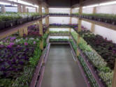 African violets and houseplants in small barn