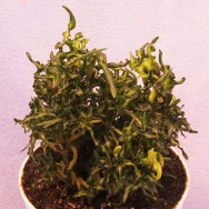 Hedera helix Little Witch