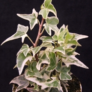 Hedera h. Lady Francis