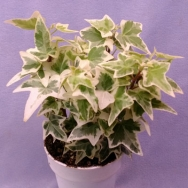 Hedera h. Silver King