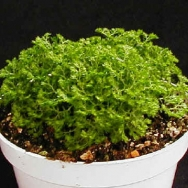 Selaginella kr. brownii