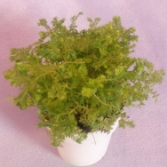 Selaginella caulescens