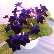 10 Different Streptocarpus