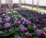 African violets in new room